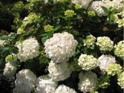 Picture of flower hydrangea in white.JPG