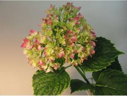 Picture of of flowers hydrangea in two toned.JPG