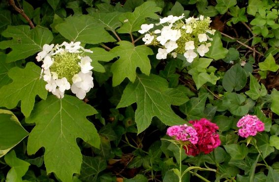picture of small hydrangeas flowers in white, red and bright pink.JPG
