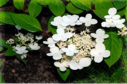picture with hydrangea flowers.JPG