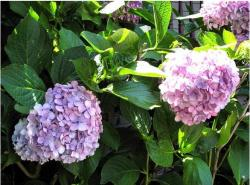pictures of hydrangea flowers in dark and light purple.JPG
