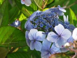 pictures of hydrangeas flowers.JPG
