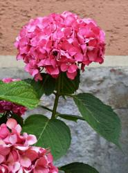 pink garden hydrangea flower looking so cute and pretty.JPG