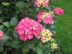 pink garden hydrangea wedding flowers.JPG