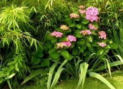 pink hydrangea flowers in garden with lots of green around.JPG