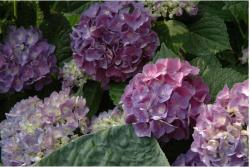 pink hydrangea wedding flowers.JPG