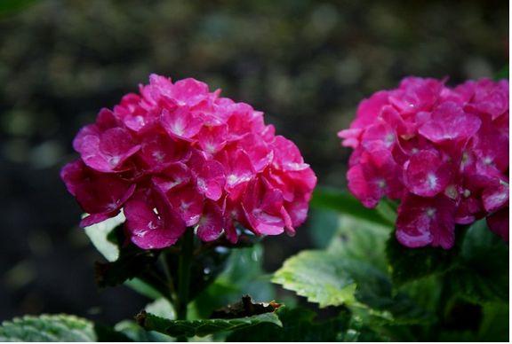 Plant Hydrangea Flowers In Bright Pink Jpg