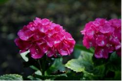 plant hydrangea flowers in bright pink.JPG