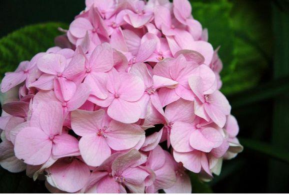 light pink hydrangea flowers for wedding, Beautiful flower
