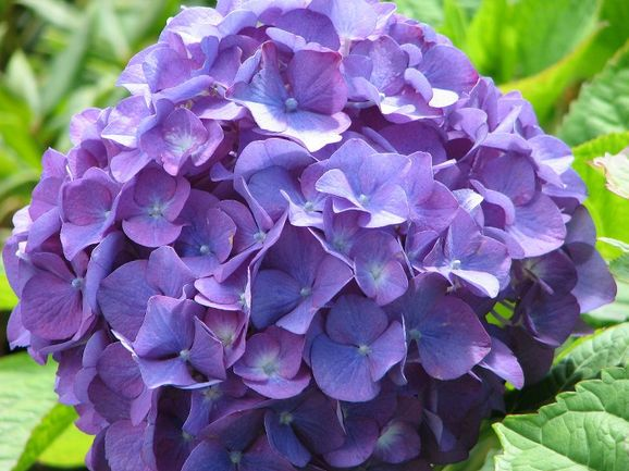 purple hydrangea wedding flower close up imagejpg - Hydrangea