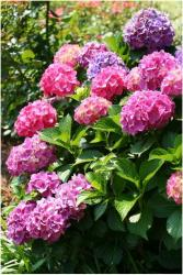 purple pink garden hydrangea flowers in the bright sunny sun.JPG