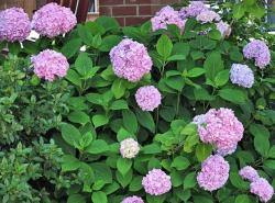 Purple pink hydrangea flower photos.JPG