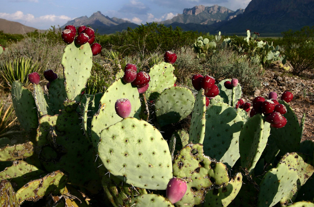 Red prickly pear cactus images.PNG