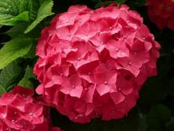 red hydrangea flower arrangements.JPG