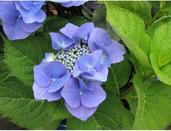 Small Purple Blue Hydranga Flowers Jpg