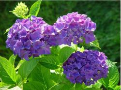 summer and hydrangea flowers.JPG