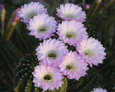 Cactus plants flowers 85 pics white purple cactus flowers scottsdale photosg mightylinksfo