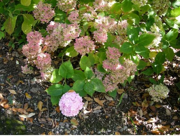 the hydrangea flower.JPG