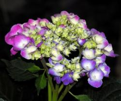 three purple tones hydrangea flower in close up picture.JPG