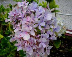 three tones hydrangea flowers pics.JPG