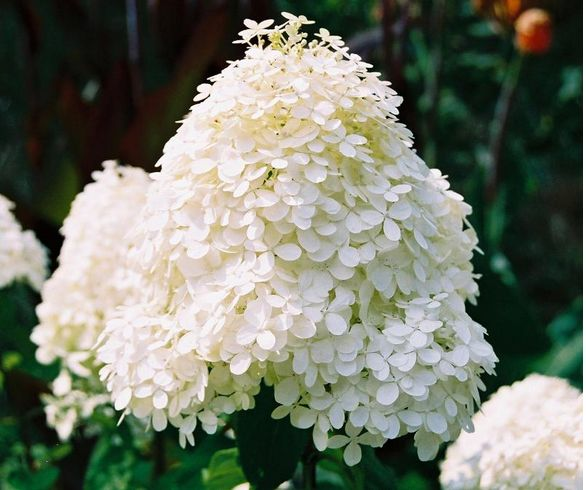 Unique hydrangea flowers in white photo.JPG