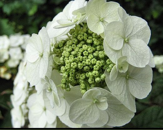 Very close up pic of flowers hydrangeas in whiteg mightylinksfo