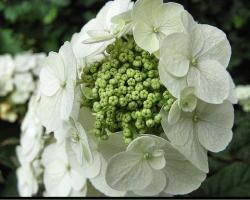 very close up pic of flowers hydrangeas in white.JPG