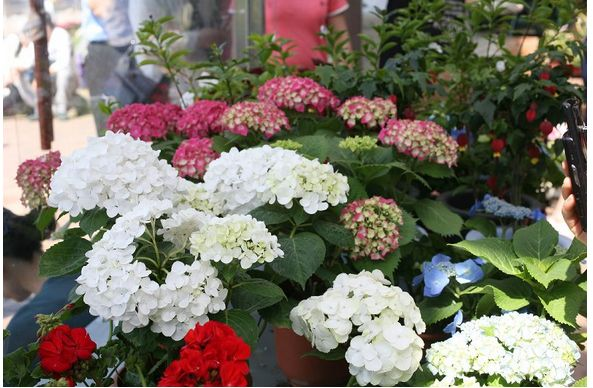 white and red hydrangea flowers picture.JPG