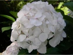 white hydrangeas flowers with light pink dots in the centers.JPG