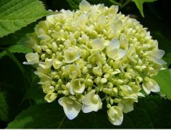 whitish green hydrangea flower.JPG
