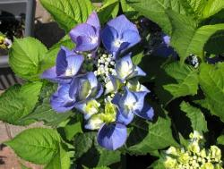 Young hydrangea flowers picutre.JPG