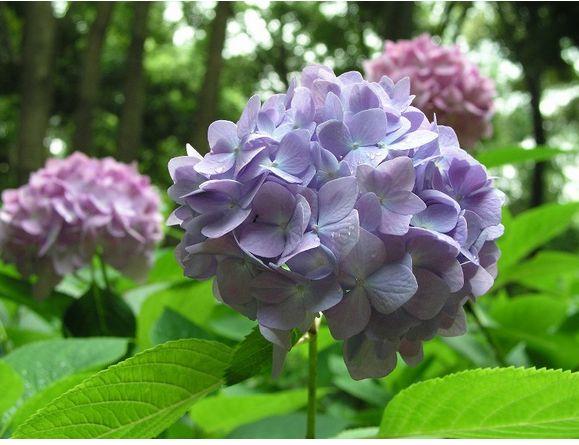 hydrangea flowers plant in garden, Natural flower