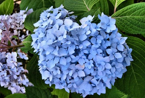 blue and purple hydrangea flower arrangement.JPG
